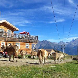 Dagelijks om vier uur 's middags komen de koeien weer terug uit de bergen en gaan ze naar de stal om gemollken te worden. Mis het niet!