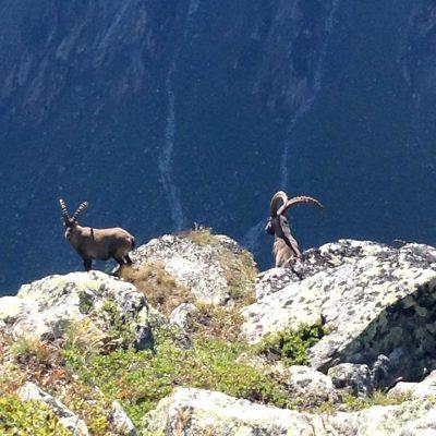 Steenbokken op de Foggenhorn